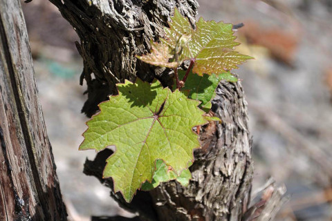 In the spring the vines get new leaves.