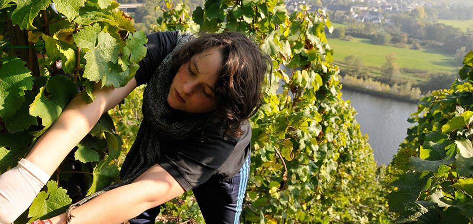 Kristin Weinand vom Weingut Weinand bei der Traubenlese in den Brauneberger Weinbergen.