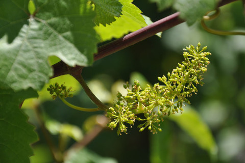 After the bloom the grapes start to ripen.